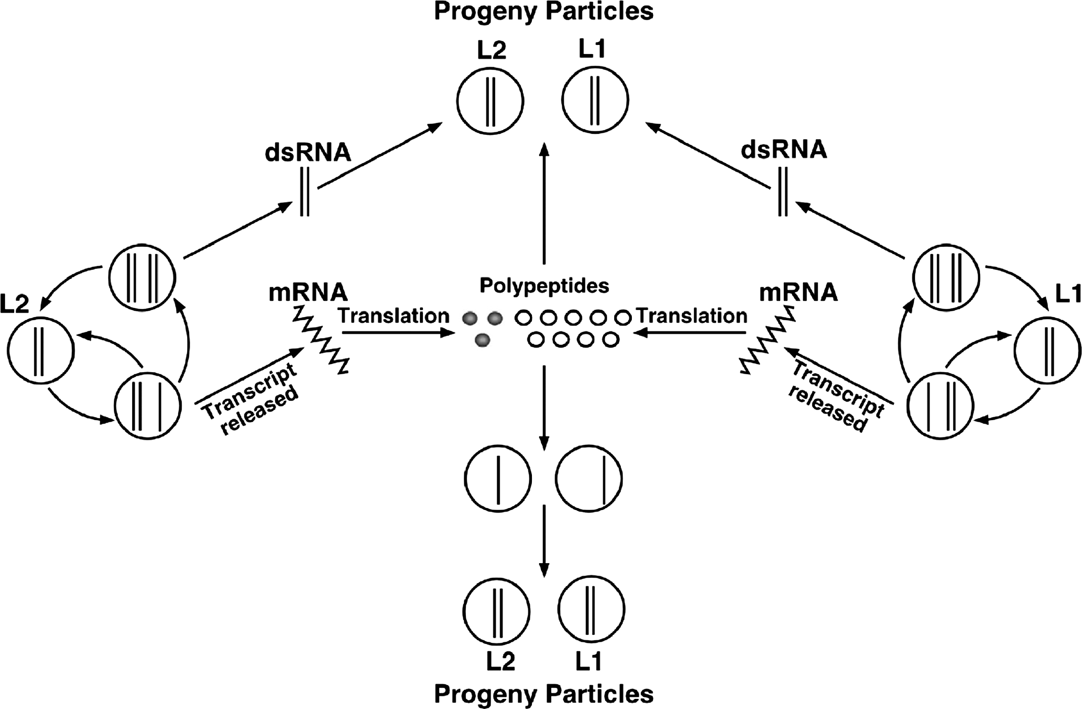 Partitiviridae figures dsrna viruses dsrna viruses 2011 figure 5 left diagrammatic representation of an alphacryptovirus capsid right negative contrast electron micrograph of particles of an isolate of white pooptronica